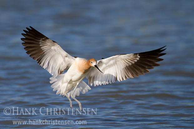 An american avocet spreads its wings to come in for a landing
