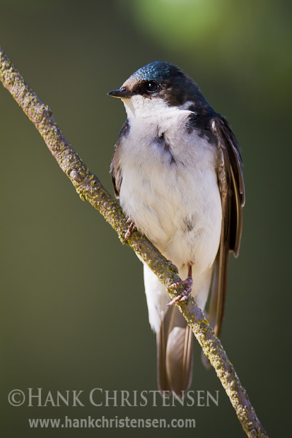 A tree swallow perches on a narrow branch in the sun