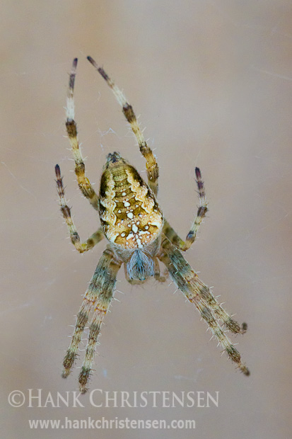 A yellow garden spider waits patiently on its web for prey to get caught