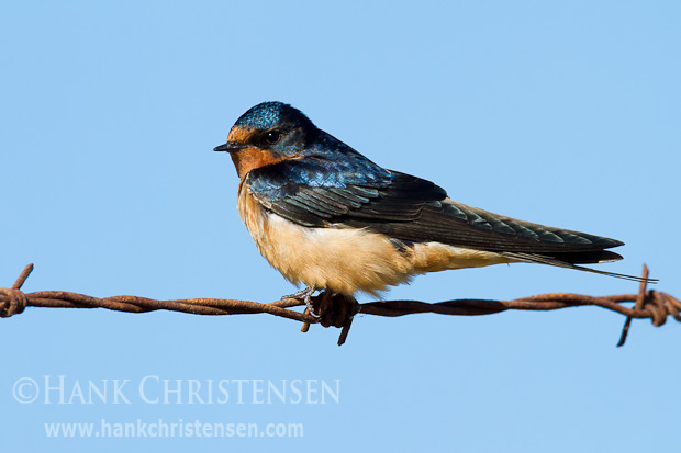 A barn swallow perches on barbed wire