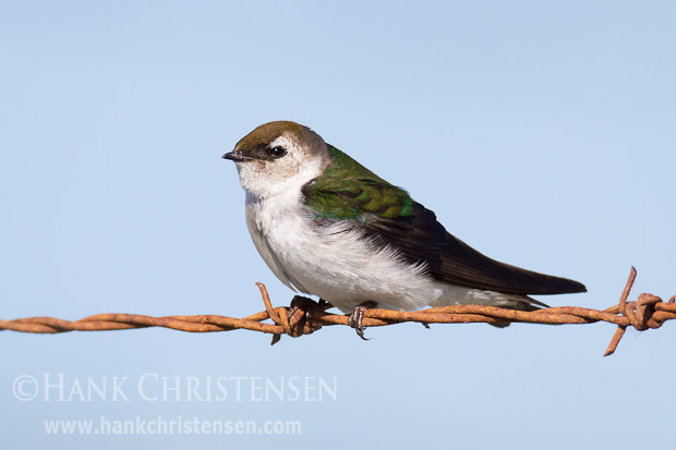 A violet-green swallow perches on barbed wire