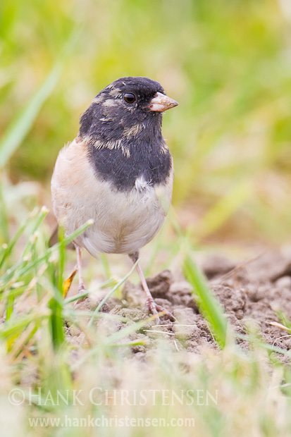 A dark-eyed junco stands at attention as he searches the ground for food
