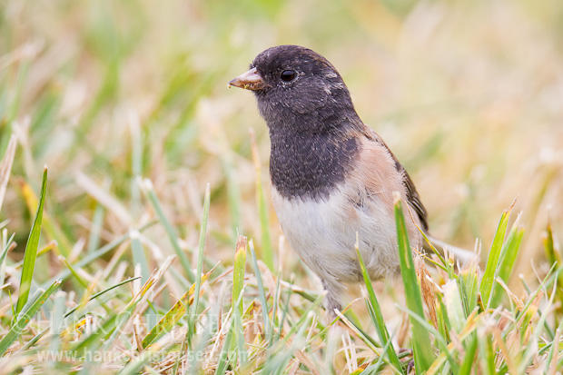 A dark-eyed junco searches for food at the edge of a field