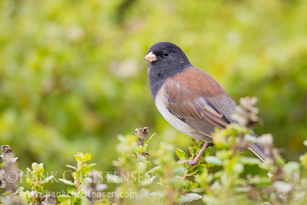 A dark-eyed junco perches on a short bush, surveying the surrounding area