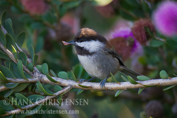 A chestnut-backed chickadee plucks a small dead leaf from its branch in order to create a better place to perch