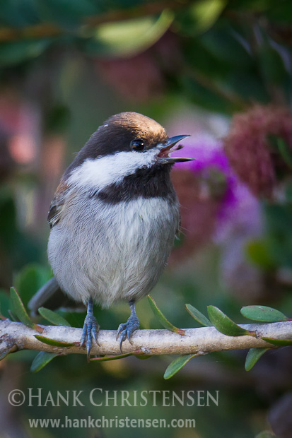 A chestnut-backed chickadee sings at the top of its lungs while perched on a bush stem