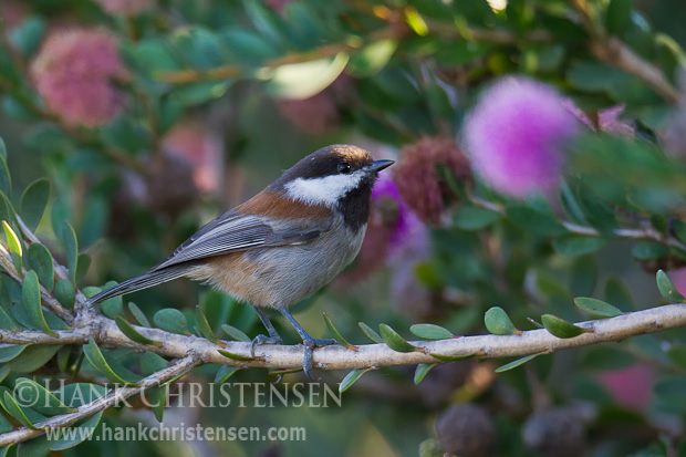 A chestnut-backed chickadee perches on a thin bush stem