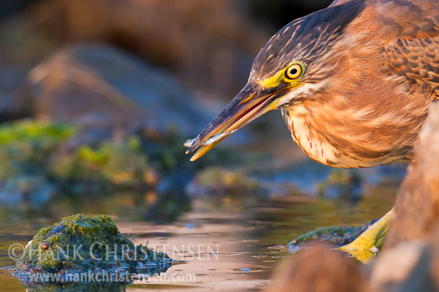 A juvenile green heron pulls a small fish out of the still water of a slough