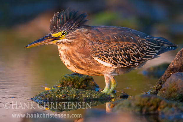 A green heron stands at the edge of a slough in the setting sun
