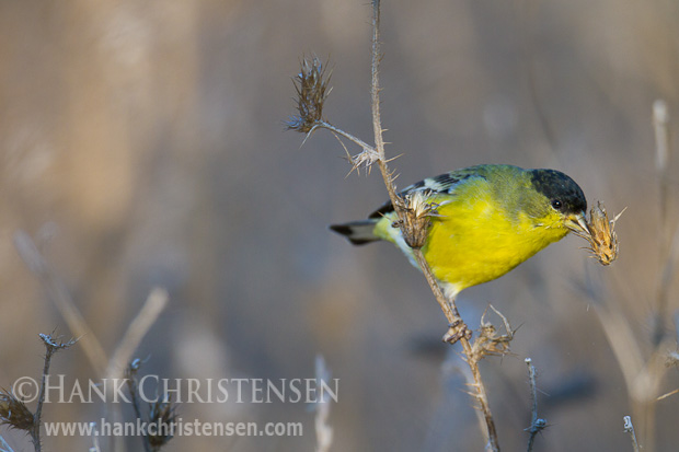 A lesser goldfinch snacks on thistle clumps, holding the food with one foot