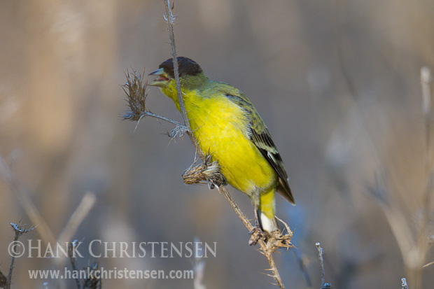 A lesser goldfinch snacks on thislte clumps, holding the food with one foot