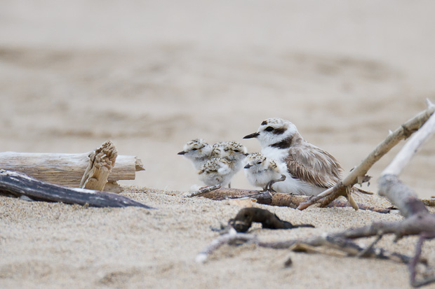 A snowy plover sits with its freshly hatched brood of three chicks