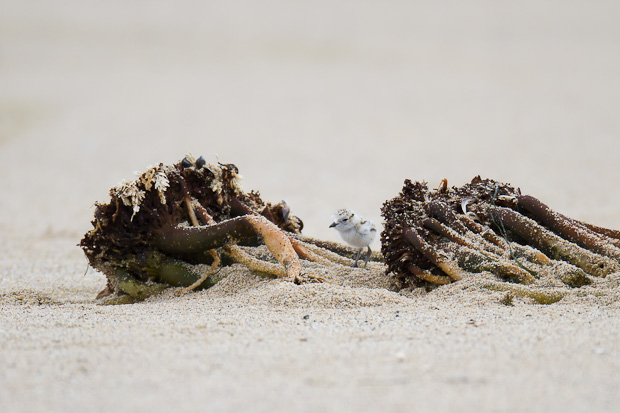 A snowy plover chick explores a seemingly massive clump of seaweed.