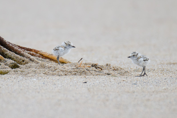 Two snowy plover siblings explore their new world together