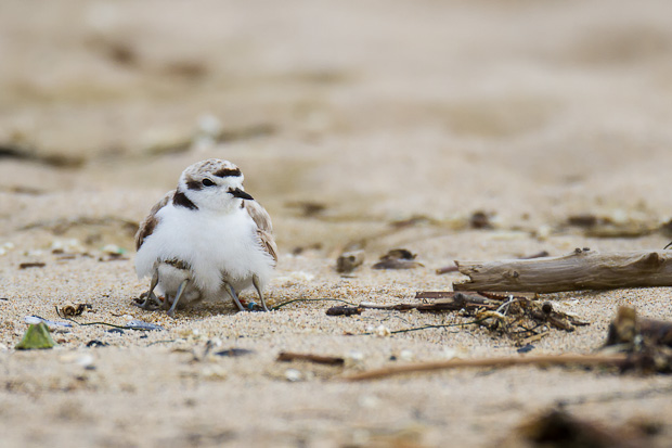 Two snowy plover chicks struggle to push into the protective care of their parent, while a third sibling is already occupying this feathered embrace.