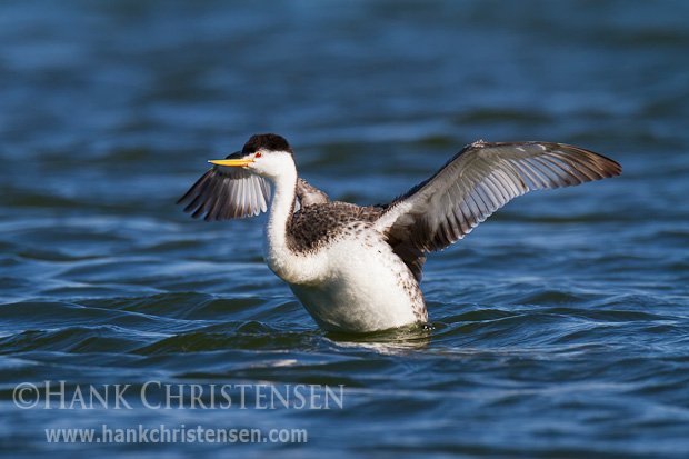 A clark's grebe flaps it wings to reshuffle its feathers as part of its preening routine