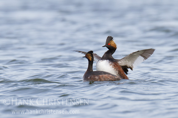 A male eared grebe mounts a female from behind and flaps his wings rapidly. The mating lasts only a few seconds.