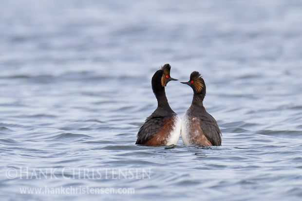 A mating pair of eared grebes court one another by mimicking each other's movements. Here the rise out of the water belly to belly and synchronize their head movements.