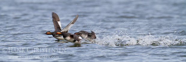 Occasionally an additional eared grebe or two join a courting pair as they fly low across the surface of the water.