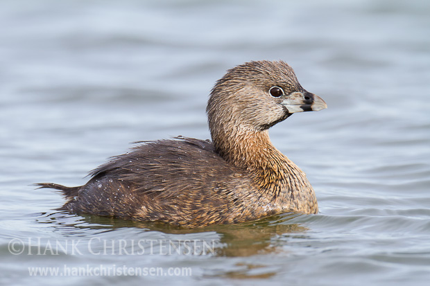 A pied-billed grebe in breeding plumage swims through calm water