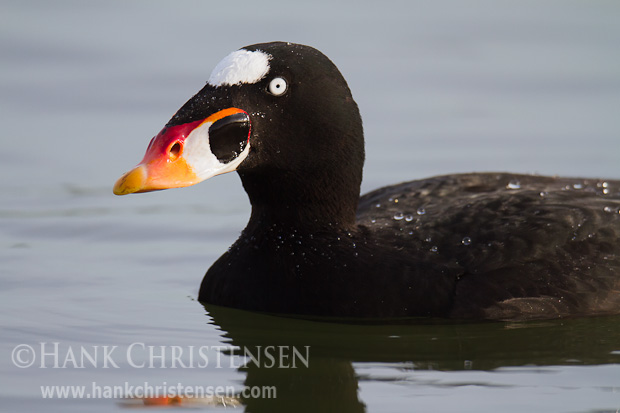 A male surf scoter shows off his colorful bill in full breeding colors.