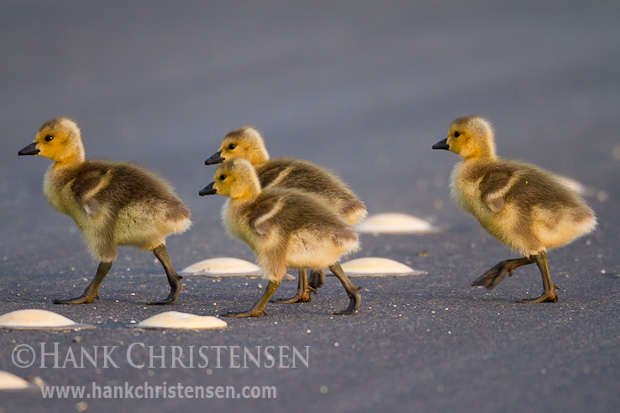 Four Canada goslings cross over the center yellow line of a road