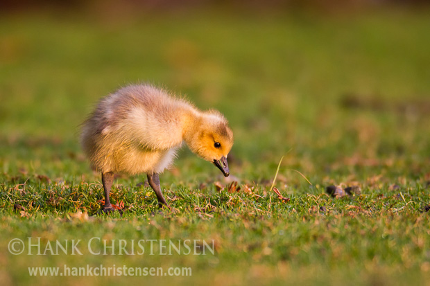 A Canada gosling eats large quantities of short grass