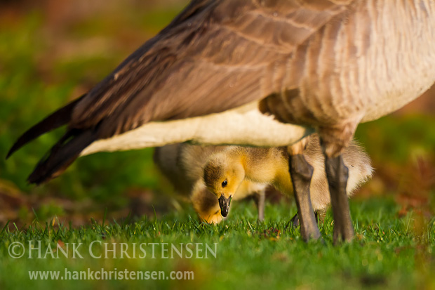 A Canada Goose watches over its chicks as they eat short grass