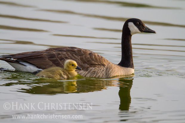 Ever watchful of its chick, a canada goose leads its young out on a still lake