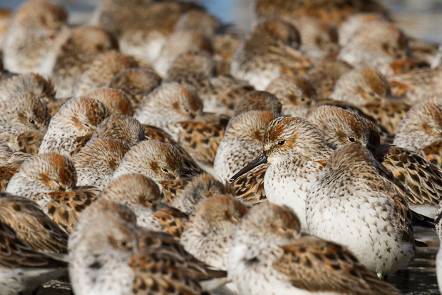 Many western sandpipers huddle together for protection along a crowded beach