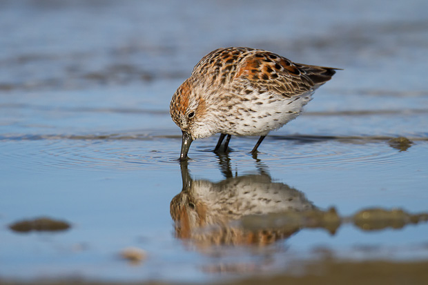 A western sandpiper is reflected in a shallow sheen of water along a beach