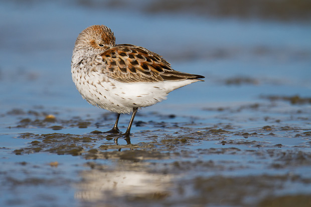A western sandpiper snoozes with one eye open during a falling tide