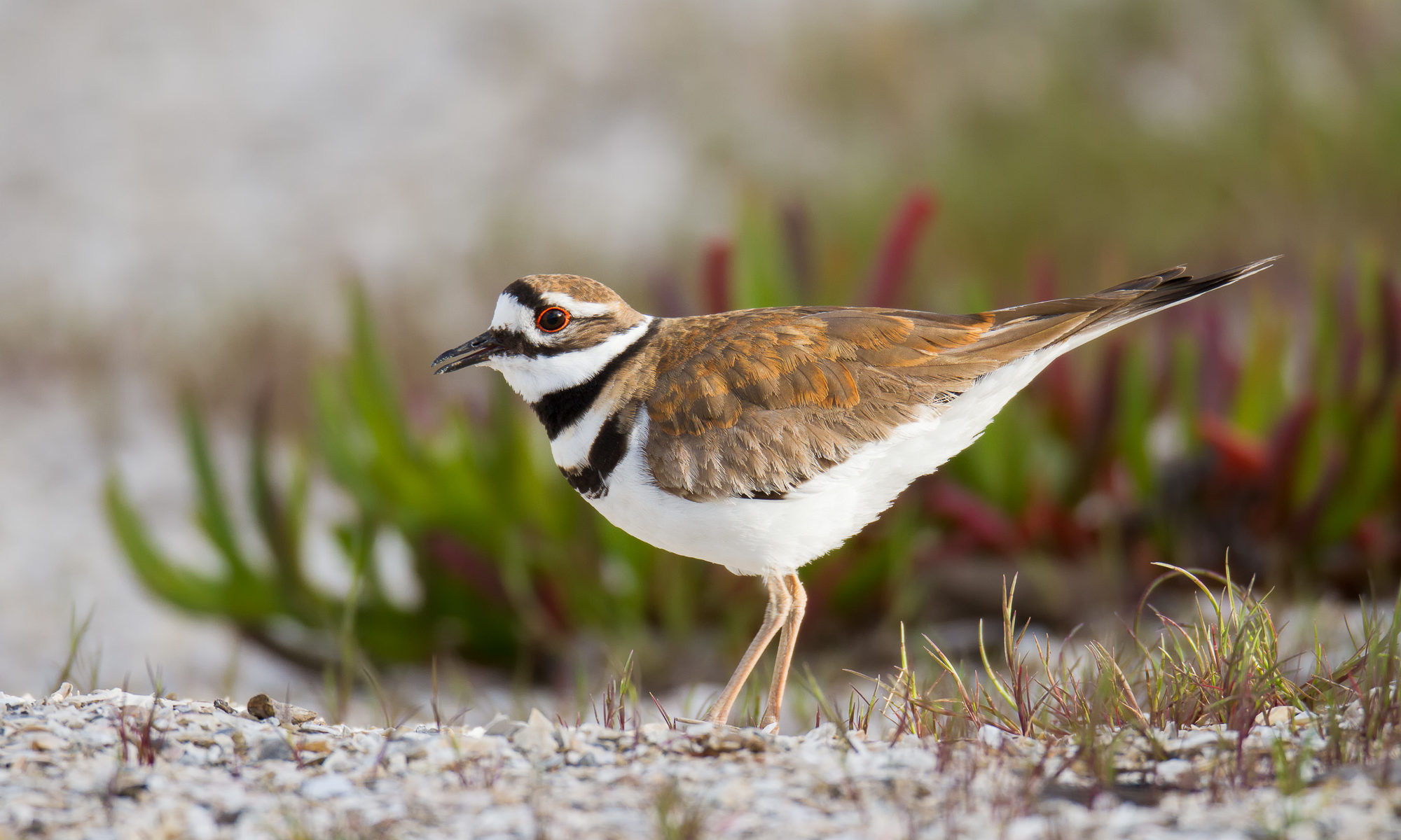 A killdeer stands in the sun on the broken shells that give name to Shell Beach in Foster City, CA