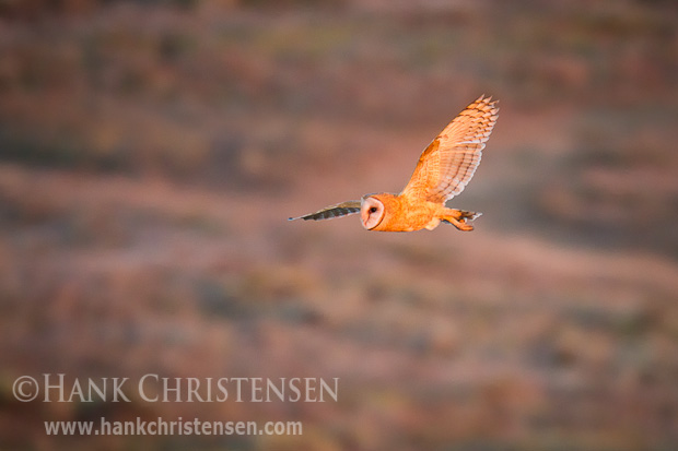 The sun spotlights a barn owl as it hunts in the last few minutes of daylight