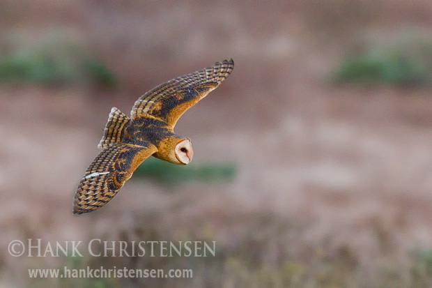 A barn owl flies low over a field, hunting for rodents just after sunset