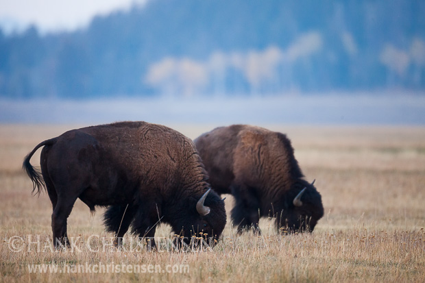 Bison graze in the grasslands of Grand Teton National Park