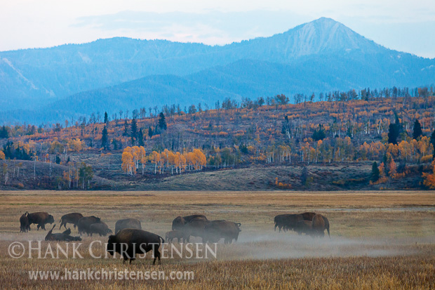 Bison kick up dust as they roll in the dirt, while others graze in the open grassland of Grand Teton National Park