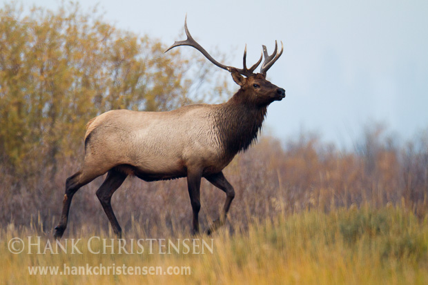 A male elk struts through a field in early morning, with a fall color backdrop, Grand Teton National Park
