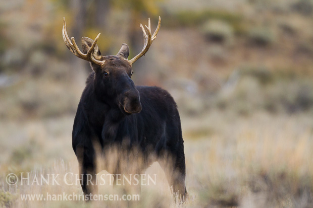 A young bull moose stands at attention as me makes his way through an open field