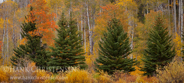 A row of fir trees grow amongst a thick stand of aspen, all in their fall colors, Grand Teton National Park