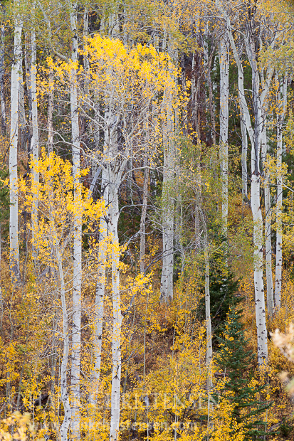 A stand of trees in full fall color, Grand Teton National Park