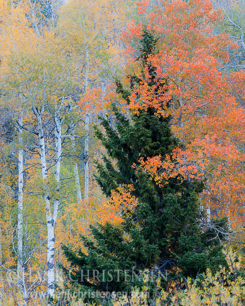 A fiery aspen wraps its branches around a lonely fir, Grand Teton National Park