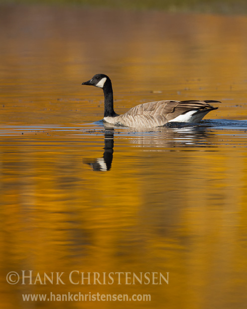 A canada goose swims through glassy water, reflecting it and the fall colors of Grand Teton National Park