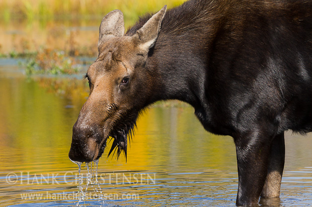 A moose cow eat greens from the bottom of a shallow pond, while surrounded by the fall colors of Grand Teton National Park