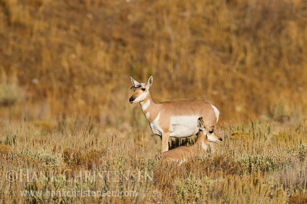 A pronghorn mother watches over her fawn. Fawns are very vulnerable when they are young, and spend most of their time beddings down and staying out of sight.