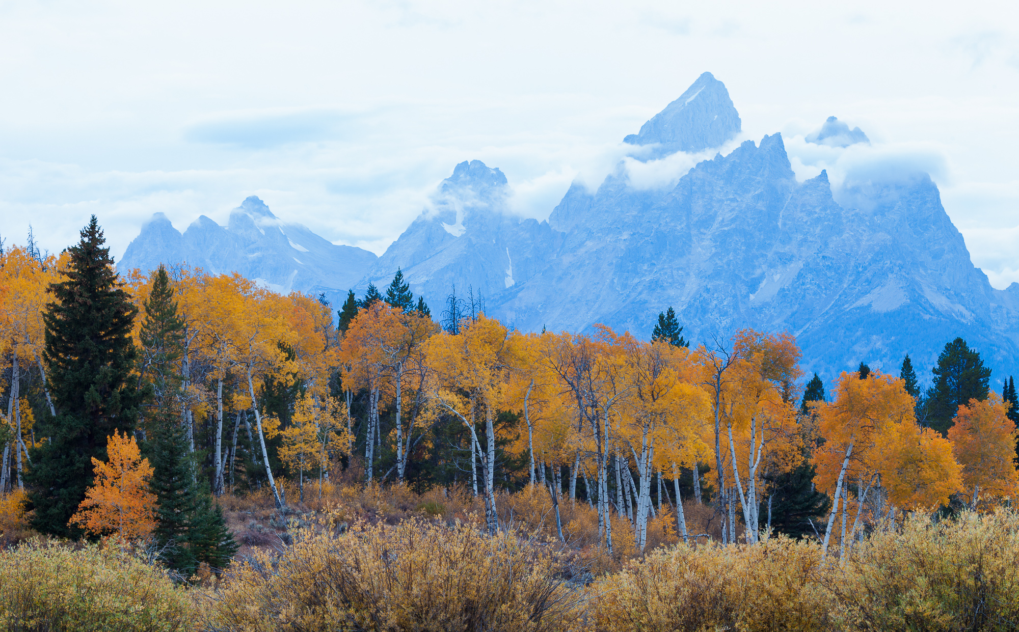 The Tetons rise behind a stand of fall aspen, Grand Teton National Park