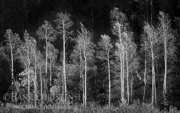 White aspen grow in the row in front of a forest of fir trees, Grand Teton National Park