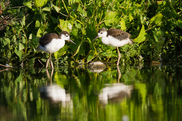 Two black-necked stilt siblings stand close together in shallow water
