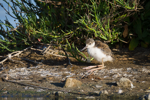 A black-necked stilt chick takes a rest on the shoreline next to a still pond