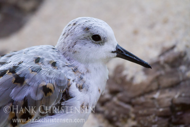A sanderling rests in an injured bird care facility, Monterey Bay Aquarium